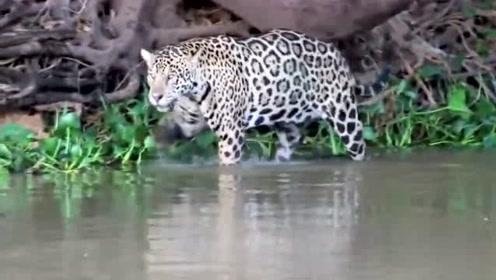 水獭挑衅花豹,奈何饥肠辘辘的豹子却拿它们一点办法都没有
