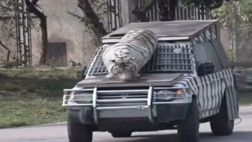 野生动物饲养员不容易,幸亏汽车早早加固,老虎实在太猛了!