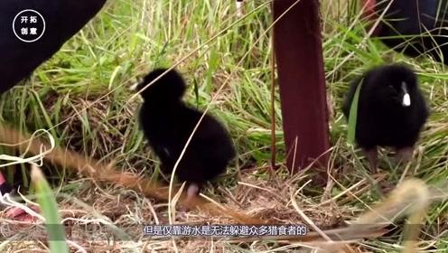 被宣布灭绝50年的鸡再次发现,政府迅速保护起来,现在涨到300只