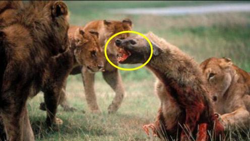 鬣狗见了以后只能等死的天敌,就连狮子都害怕,竟然是这种动物