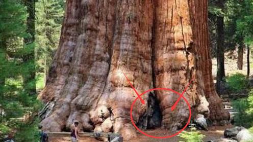 世界上最大的树,在我国商朝时期种下,现今已有2800多吨重