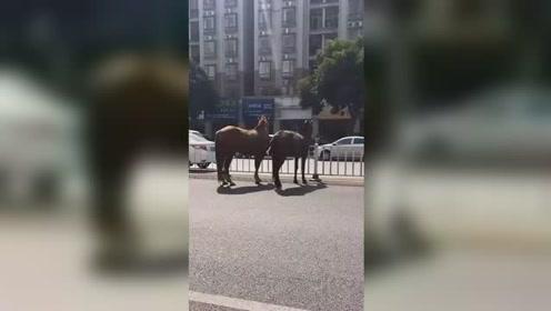 """两匹马光棍节""""私奔"""" 悠闲在马路上""""逛街"""""""