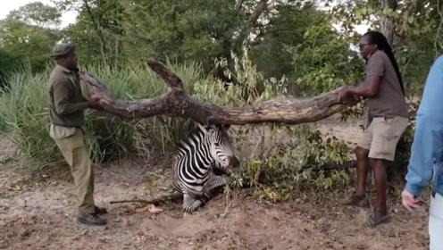 斑马铁丝被困住,两男子却搬起了枯树干,他们意欲何为?