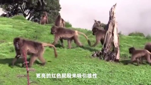 为什么狒狒的屁股会又红又肿?了解原因后让人耳朵也发红了