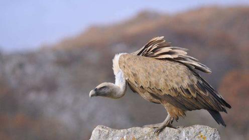 这种鸟被称为死神的恶仆 能飞跃喜马拉雅山 打架时却很怂