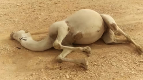 骆驼在沙漠中渴死后,导游不让游客乱碰,看完秒懂了