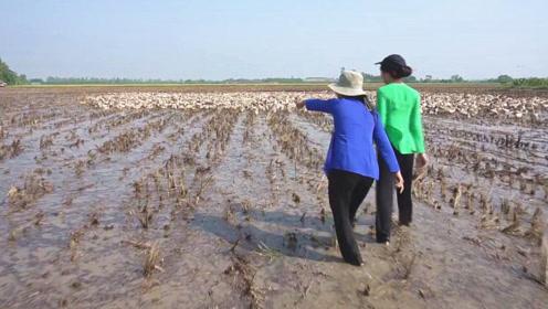 一大群土鸭正在田间觅食,姐妹俩赶紧跑来捡鸭蛋,结果真令人嘴馋