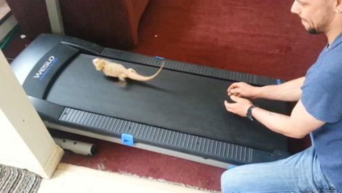 主人为给蜥蜴减肥,把蜥蜴放跑步机上,蜥蜴反应和大多数人一样!