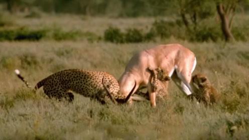 羚羊被3只猎豹围杀,羚羊无力回天?结果下一秒强势翻盘