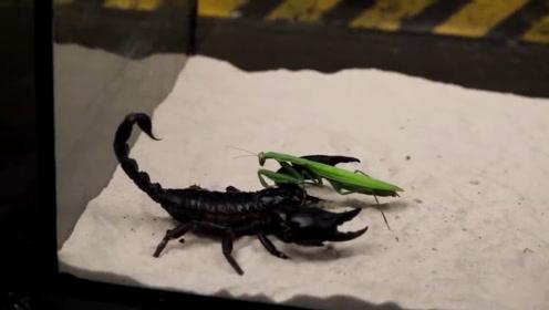 测试:蝎子vs螳螂谁能更胜一筹,结果令人震惊