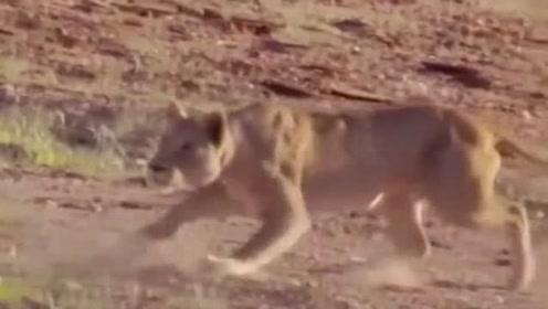长颈鹿:这该死的狮子!我让你尝尝我的厉害!你以为我的个子是白长的啊?