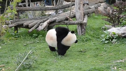 现实版功夫熊猫,千万别让老外看到了,要不然更解释不清了!