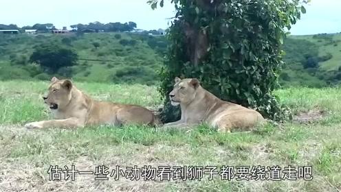狮子锁喉角马后,本以为马上会饱餐一顿,结局却出人意料!