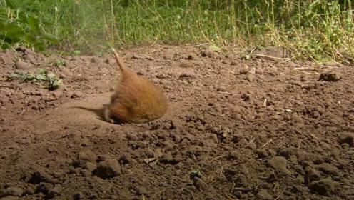 土洞对田鼠来说有多重要?镜头记录全过程,看完你别不信!