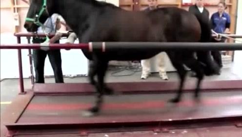 用跑步机来测试马的速度,大家看一下就知道马跑起来有多快了