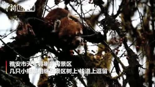 四川天全喇叭河景区:野生小熊猫欢快觅食