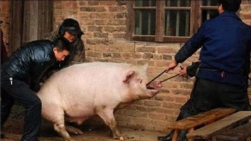 """""""种猪""""的""""猪生""""幸福吗? 最后都去哪里了?看完让人心疼"""