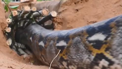 远古时代不仅有恐龙,这种蛇也是和恐龙并肩作战的!