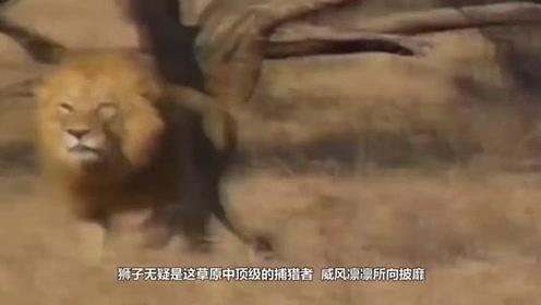 野牛有多强悍?被狮子轻轻挠了一下后,直接发飙把狮子干翻了