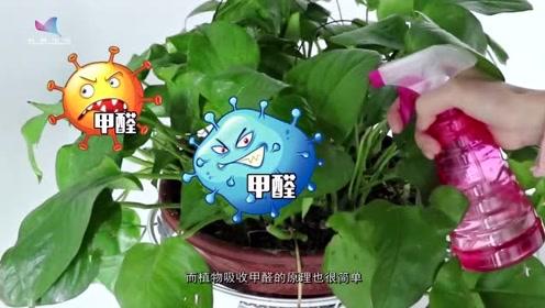 吊兰是植物中的吸甲醛之王?只能起到辅助作用