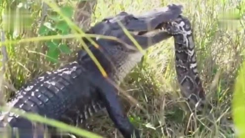 巨蟒大战非洲鳄鱼,一回合不到就失去了战斗力,只能任由鳄鱼处置