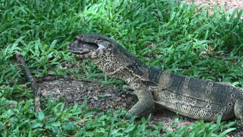 这只巨蜥吃啥不好,偏偏盯上了乌龟,镜头记录蜥蜴悲惨全过程!