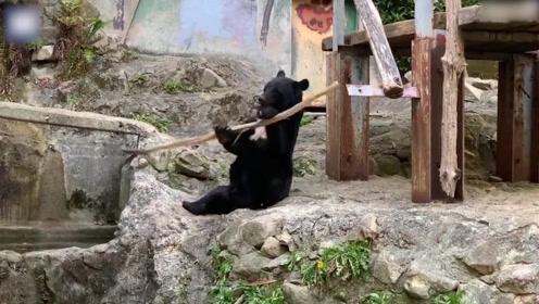 猴哥是你吗?日本动物园黑熊耍弄棍棒,旋转灵活如功夫表演走红
