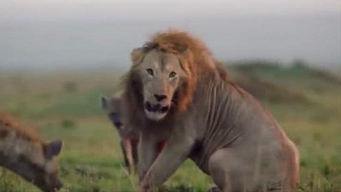 鬣狗群以为落单雄狮好欺负,谁知雄狮突然大展神威,直接把鬣狗女王给杀了