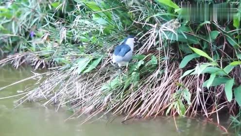 别看夜鹭身材小,捕起鱼来毫不含糊