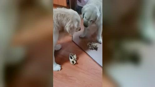 狗子对着镜子啃骨头 以为对面有狗要抢食