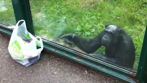 动物园里爱喝饮料的猩猩,连香蕉都不要了!