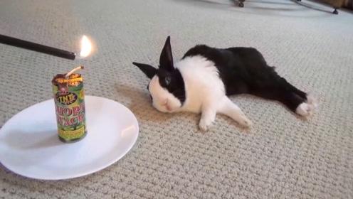 主人用鞭炮吵醒睡着的兔子,兔子却满脸冷漠和淡定,这兔子心真大