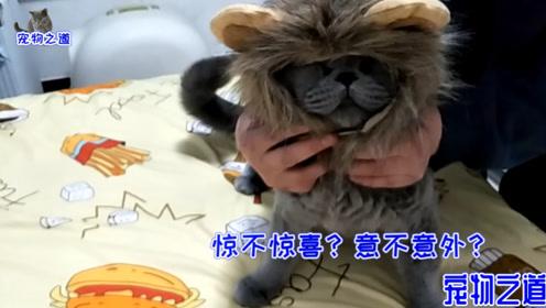 主人给胖猫打扮,帅气胖公猫立刻变丑猫:不能出去,会被打死