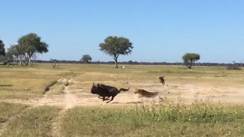 雄狮猎杀角马,力量与速度的碰撞,画面太壮观了