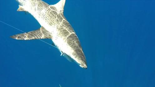 钓鱼最刺激的一幕,大鲨鱼来截胡了!