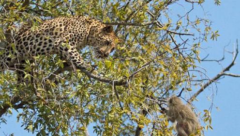 猴子在树上戏弄花豹,下一秒花豹让它彻底后悔,镜头拍下精彩一幕