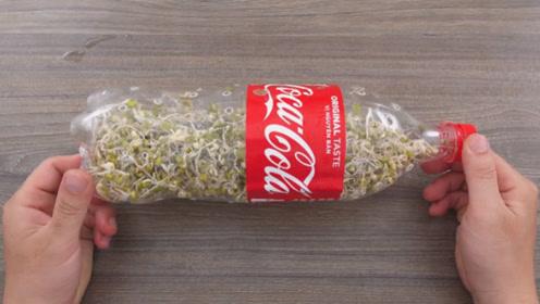 豆芽不用买,只需一个塑料瓶,2天就能吃上,又嫩又新鲜