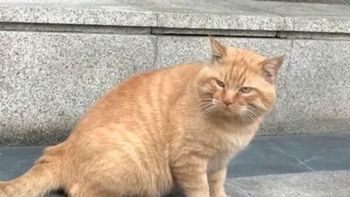 我家的橘猫还是很可爱的,被我给养的这么胖,不愧是一位吃货!