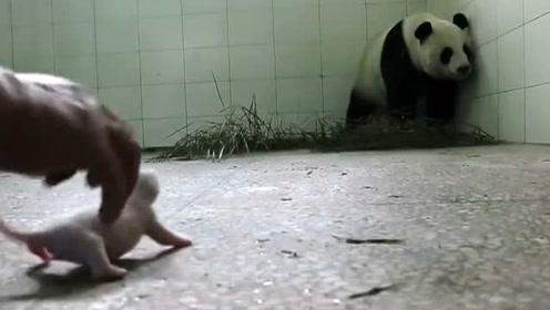 """熊猫初为""""熊母"""",看见幼崽无动于衷?有好吃的就被引走了!"""