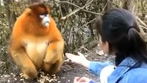 猴中贵族,性格温顺不会轻易发脾气,这样的动物谁不喜欢啊!
