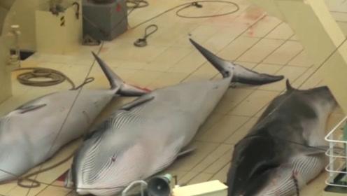 面对各国的谴责,为何日本就算追到南极也还要捕鲸?并非只为吃肉