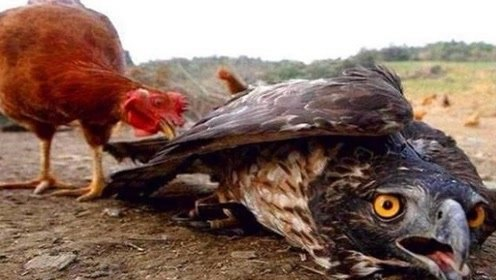 老鹰去偷鸡,结果被母鸡强行留住,鸡:来了就别想走了!