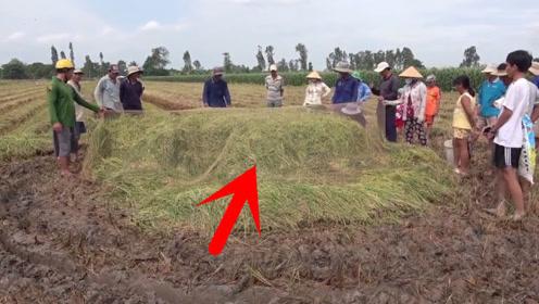 水稻收割后,用一张巨网罩住水稻,30秒后村民乐坏了!