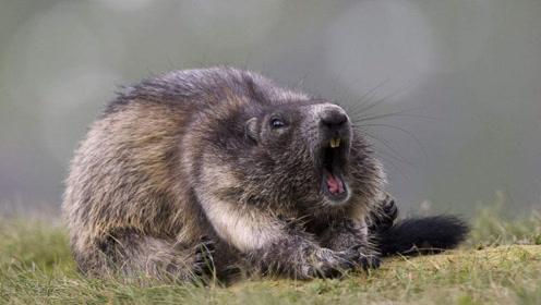 土拨鼠软弱无助,灰狼毫不留情,大自然不同情弱者