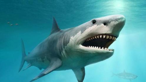 全球体型最大的鲨鱼,鲸鱼都是它的美食,最后为何会被饿死?