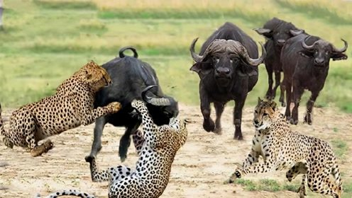 豹子从背后偷袭野牛,结果被野牛当场顶飞,镜头拍下全过程