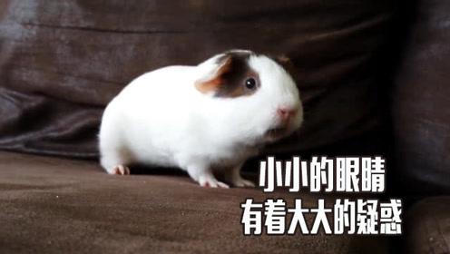 主人养了一只小猪,这小猪跑到停不下来,怀疑是不是有多动症