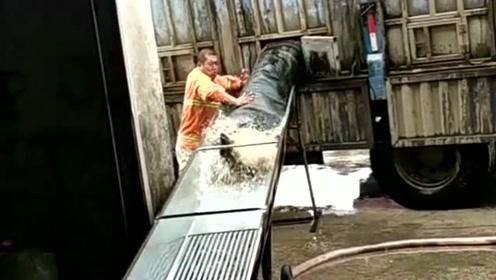 货车厢门打开的一瞬间,万斤鲤鱼一拥而出,这样鲤鱼够我吃一辈子的!