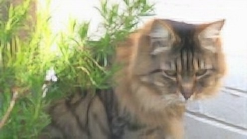 镜头下的喵星人明奇在为何焦躁不安?邻居猫咪入侵领地是诱因吗?