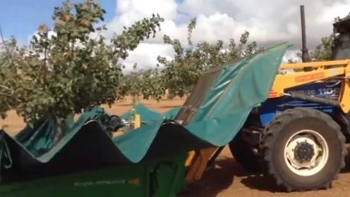农民第一次用收割机来采摘果实,看着果树摇摆的频率,真心疼果树